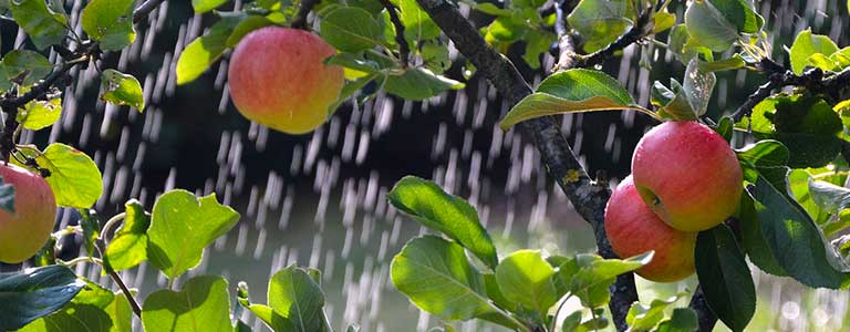 Apple trees being watered