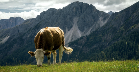 Grass-Fed Beef: Is it Really a Sustainable Alternative?