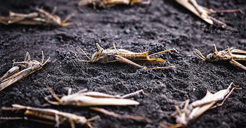 Roundup Ready® Crops, Grasshoppers, and Animal Protein Are Connected!