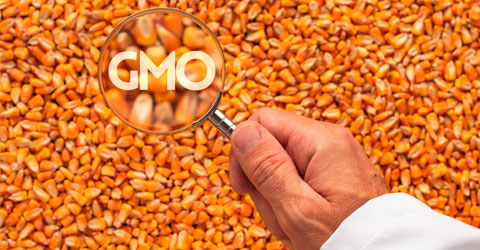 Asking the Right Questions About GMOs: Do We Need GMOs To Feed the World?