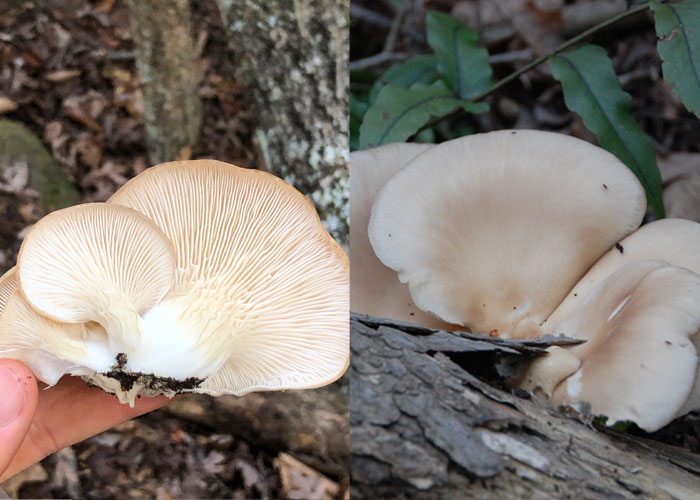 Five Mushrooms That Can Replace Fish in Your Diet