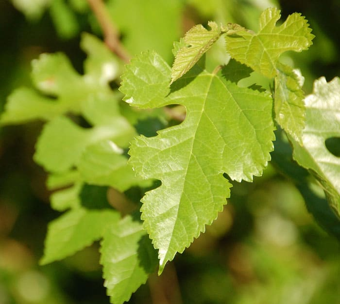 3 Trees with Edible and Nutritious Leaves